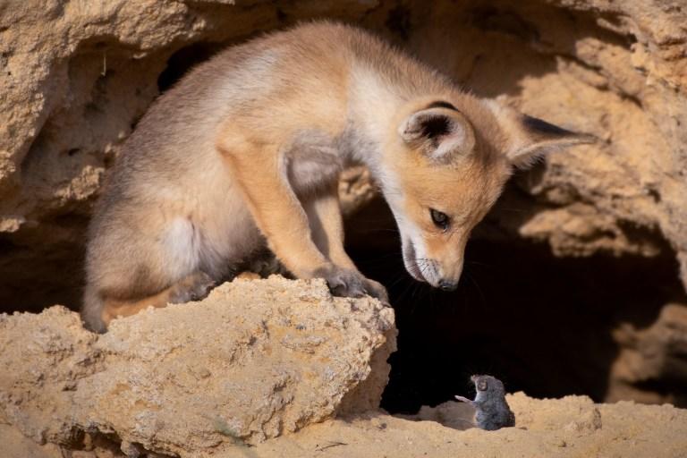 Une créature ressemblant à un renard regarde une souris d'un air menaçant