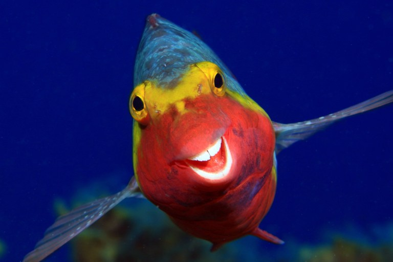 Un poisson bleu, jaune et rouge sous l'eau sourit à la caméra