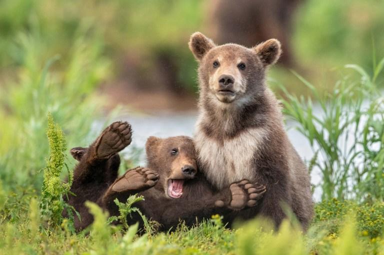 Un petit ourson a l'air mortifié alors qu'il est assis sur les genoux d'un autre ours