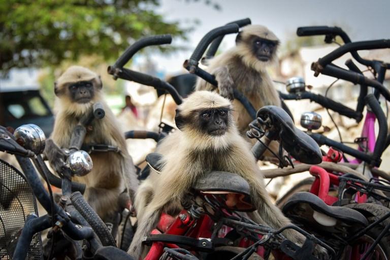 Un groupe de singes peut être assis sur des motos rouges et noires
