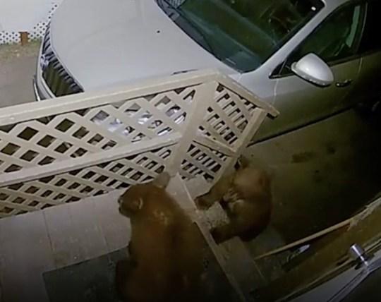 Two bears fighting caught on doorbell cam