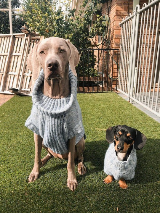 Two dogs in matching outfits.