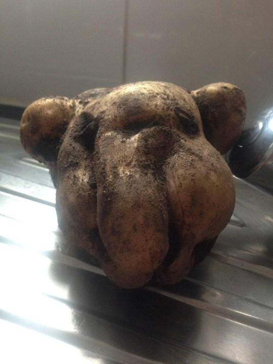 MERCURY PRESS. Pictured: The potato resembling Dave the American bulldog. A woman was left in hysterics after she discovered her home-grown potato looked like her pet DOG. Keen gardener Joanne Gudger, 47, harvested some spuds at her allotment last week and was amazed to find that one resembled the head of her 13-year-old American bulldog, named Dave. The mum-of-three, from Atherstone, Warwickshire, rushed to take a hilarious snap of her find, to share with family and friends - who all couldn???t believe how similar the potato looked to Joanne???s beloved hound.SEE MERCURY