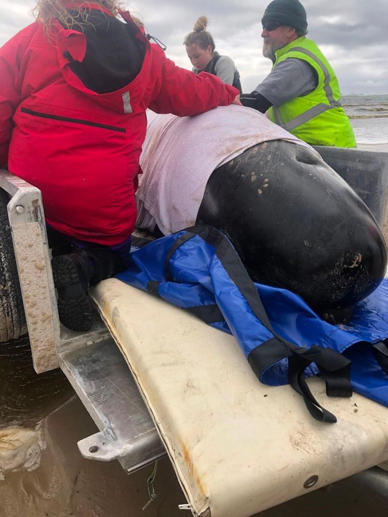 des sauveteurs transportant une baleine par remorque dans le port de Macquarie, sur la côte ouest accidentée de la Tasmanie, alors que des centaines de globicéphales sont morts dans un échouage massif dans le sud de l'Australie malgré les efforts pour les sauver, les sauveteurs se précipitant pour libérer quelques dizaines de survivants.