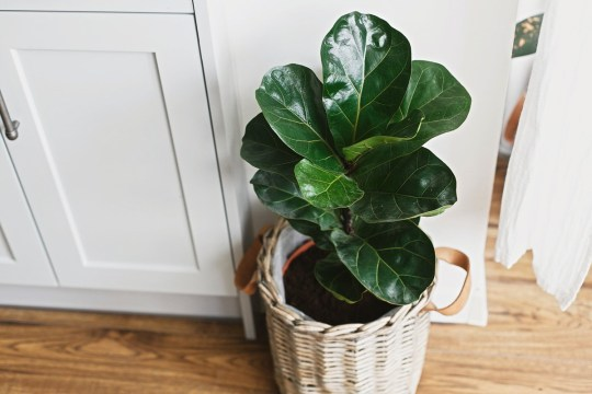 A fiddle leaf fig tree