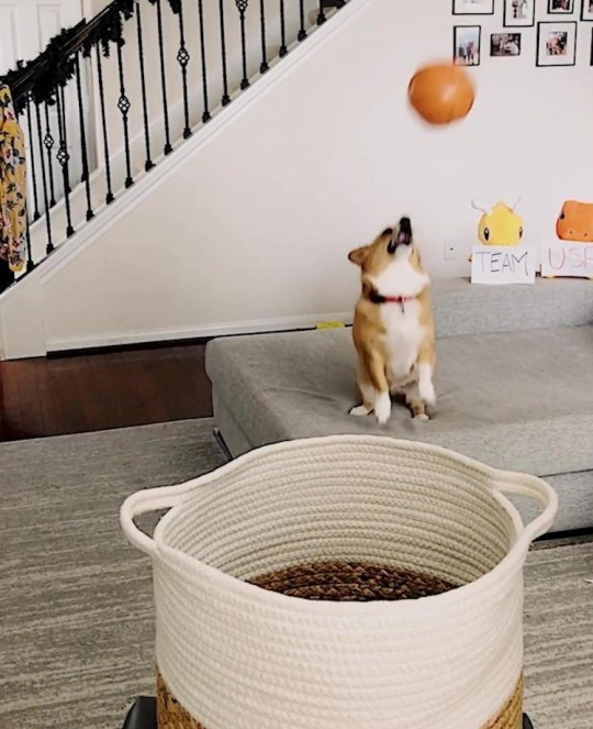 Video grab of Lilo the corgi and her unique talent - throwing basketball trick shots!See SWNS story SWBRcorgi. Meet Lilo the adorable corgi with a unique talent - throwing basketball trick shots! Five-year-old Pembroke Welsh Corgi Lilo developed her talent over the lockdown period by taking out the energy she would usually get from socialising with other dogs, on balloons. Owner Denny Ku noticed the motion of Lilo hitting the balloons was similar to that of shooting a basketball and soon began teaching her 'trick shots'. Denny, 29, films and publishes her amazing trick shots on the social media page @aircorg and his talented little fluffball is now gaining a lot of attention.