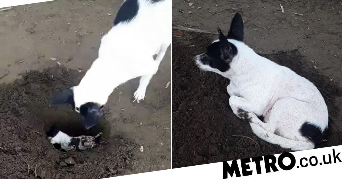 Grieving dog digs grave to bury her own dead puppy