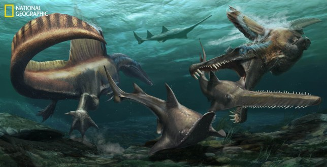 Two Spinosaurus aegyptiacus hunt the sawfish Onchopristis in a river system that covered what is now Morocco more than 95 million years ago. SOURCE: NIZAR IBRAHIM, NATIONAL GEOGRAPHIC EXPLORER. (Jason Treat, NG Staff, and Mesa Schumacher. Art: Davide Bonadonna)