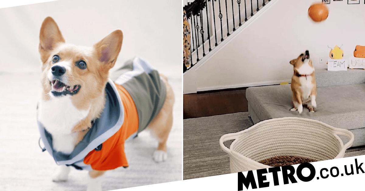 Meet Lilo – the Corgi who can throw basketball trick shots