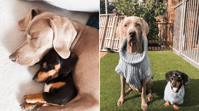 Split image of two dogs cuddling and two dogs in matching outfits posing for the camera in a garden.