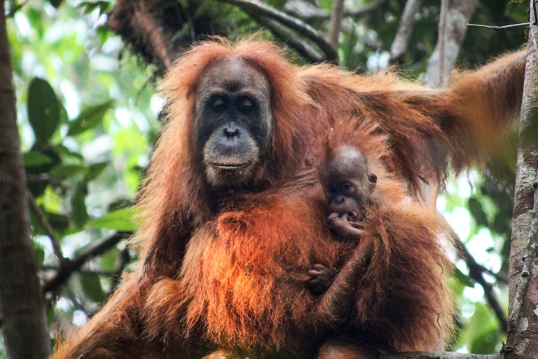 Un orangutan de Tapanuli penjat a un arbre a Batang Toru, Tapanuli, al nord de Sumatra, Indonèsia.