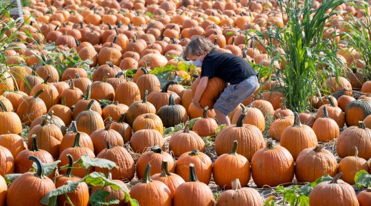 A young child wearing a face mask picks pumpkins in a field.