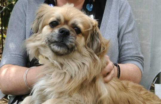 Tibetan Spaniel dog.