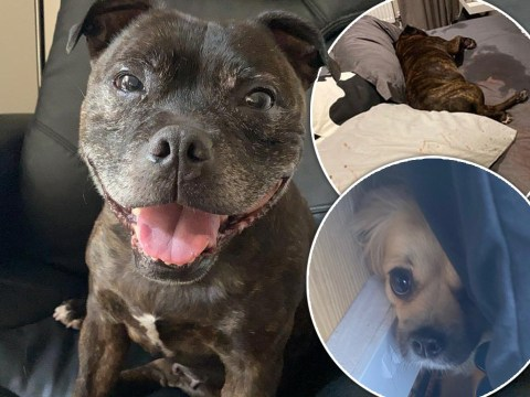 Dog collapses in fear as experts warn of more firework trauma than normal