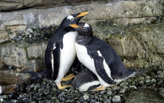 photograph of gay penguins with their chick