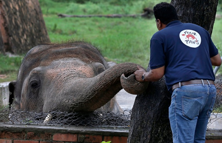 A veterinary from the international animal welfare organization 'Four Paws' offers comfort to an elephant named 'Kaavan' prior to his examination at the Maragzar Zoo in Islamabad, Pakistan, Friday, Sept. 4, 2020. The team of vets are visiting Pakistan to assess the health condition of the 35-year-old elephant before shifting him to a sprawling animal sanctuary in Cambodia. (AP Photo/Anjum Naveed)