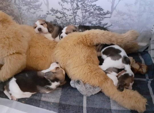 orphaned pups cuddle a dog-sized teddy
