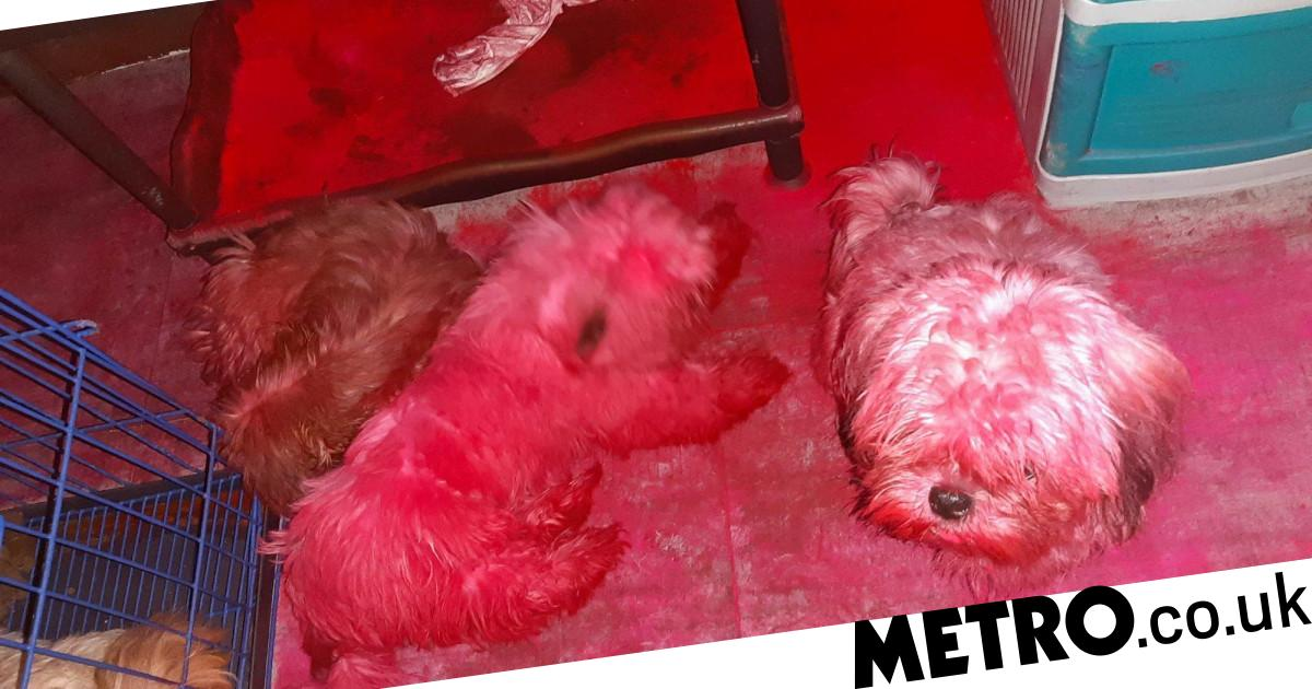 Naughty puppies that got into owner's makeup bag turned totally pink