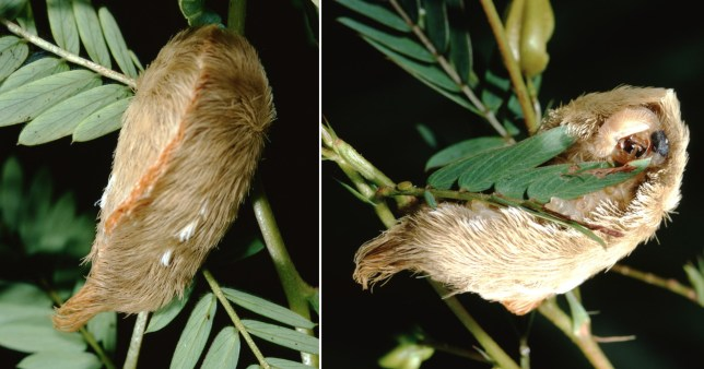 Southern Flannel Moth Puss Caterpillar (Megalopyge Opercularis). Photographed by acclaimed wildlife photographer and writer, Dr. William J. Weber.