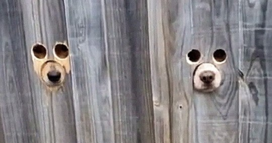 dogs peeking through holes in a fence