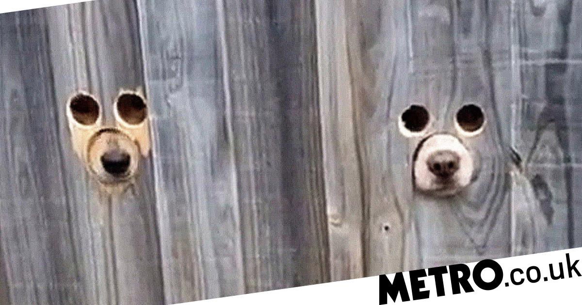 Owner creates dedicated holes in fence so dogs can peek through