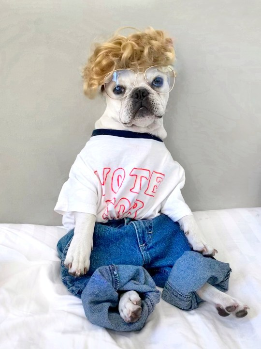 Toad the french bulldog dressed as napoleon dynamite