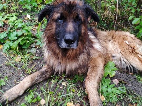 Dikubur hidup-hidup, seekor anjing di Rusia menjadi perbincangan publik. Anjing ras German Shepperd bernama Kiryusha berhasil lolos dari upaya pembunuhan sang majikan.