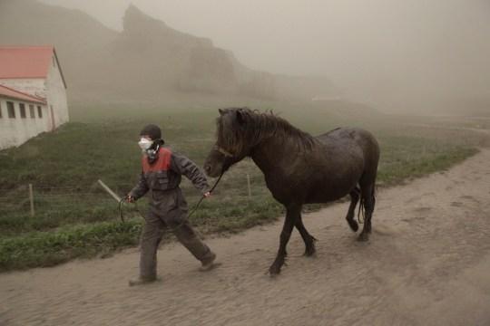 Anna Hardadottir, a farmer of Horgsland, leads a horse, through the ash pouring out of the erupting Grimsvoetn volcano