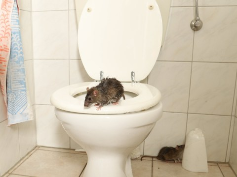 Rats are invading houses through toilets and letterboxes