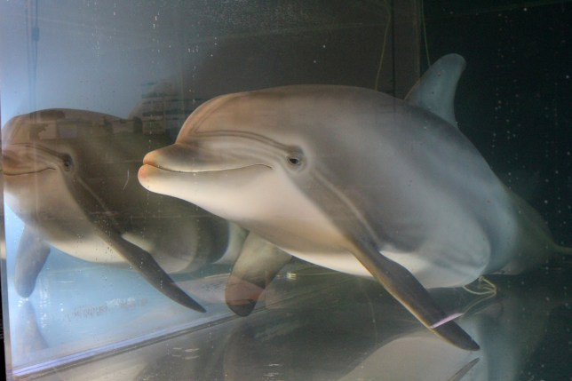 An animatronic dolphin built by Edge Innovations is seen in a tank at the company's warehouse