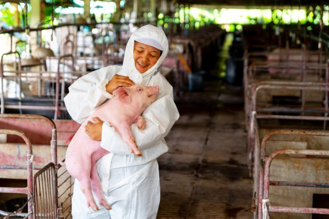 Asian veterinarian working and checking the big pig healthy in hog farms, animal and pigs farm industry; Shutterstock ID 1480585118; Purchase Order: -