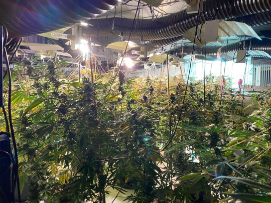 (Picture: NCA) National Crime Agency officers have actually found an enormous three-floor marijuana farm in a previous bar in Coventry. They robbed the home on Trinity Street on Thursday [15 October], smashing through a number of strengthened doors to access the grow. When they got in they found around 1000 marijuana plants spread out throughout the building?s 3 floorings. NCA specialists value the haul at over ?1 million. As well as the plants officers recuperated advanced planting, growing and watering devices, valued at around ?150,000 Three guys were apprehended. Two were apprehended with the support of West Midlands Police drone system as they tried to get away the structure.