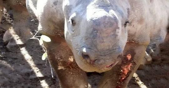 Le rhinocéros 'Princess Pumpkin' a été blessé au Zimbabwe