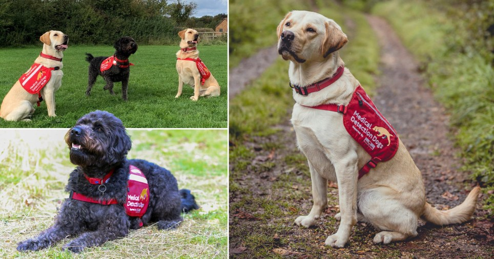 Ivan and Spencer, both Labrador-golden retriever crosses, and Maple, a black Labradoodle, who have joined the Medical Detection Dogs' elite team of Covid-19 detection dogs.