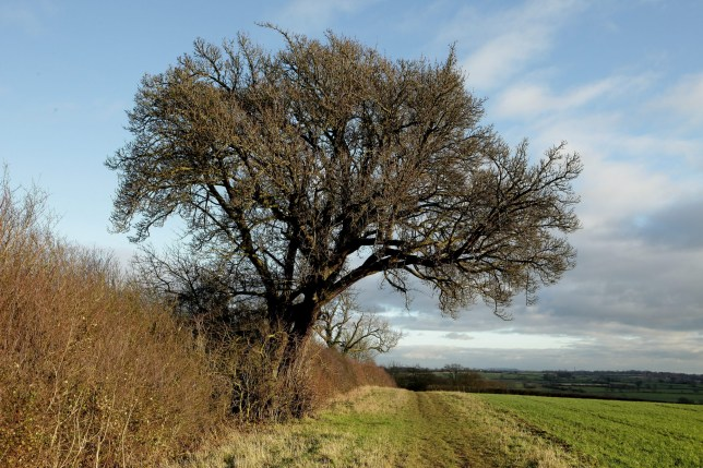 The Cubbington Pear Tree was chopped down yesterday