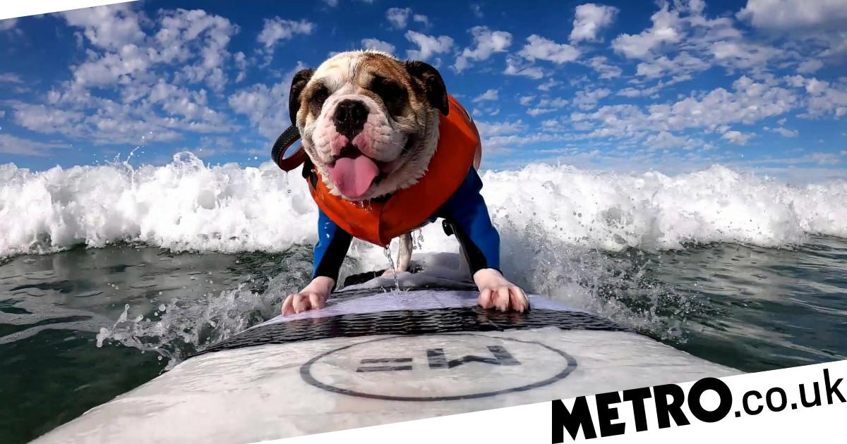 Behold Rothstein, the talented bulldog who loves to surf the waves