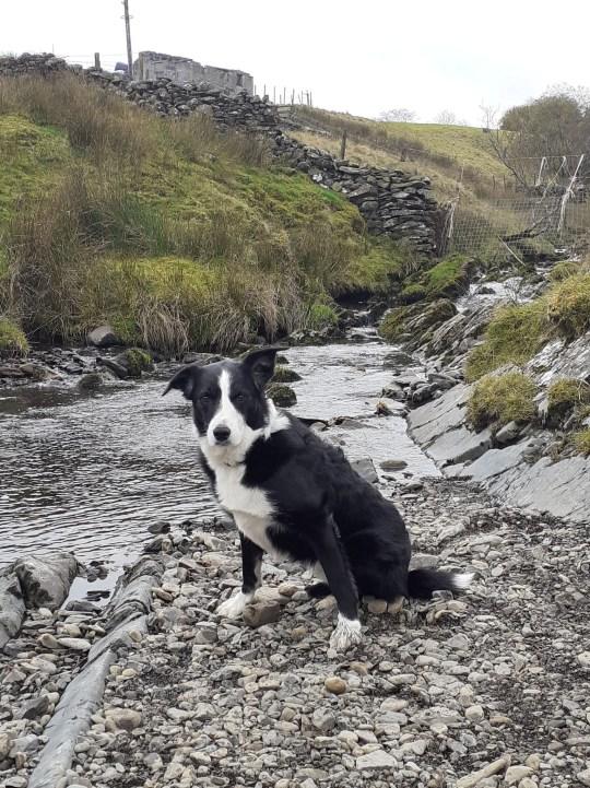 Cap the sheepdog