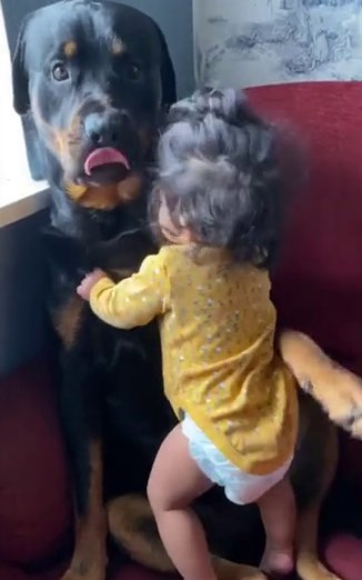Rottweiler Hammer is like a 'big brother' to baby Olivia at their home in Swindon  tPicture: vanessa___fernandes__ metrograb