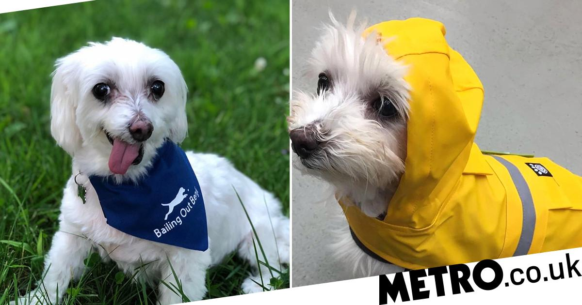 Puppy mill survivor crowned World's Cutest Rescue Dog