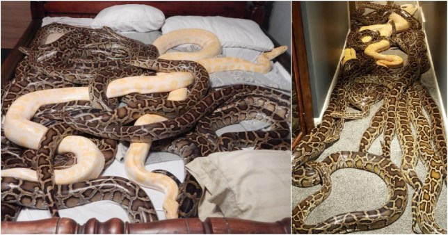 Snake lover let 20 enormous Burmese pythons roam freely inside his home