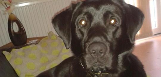 Labrador looking into the camera