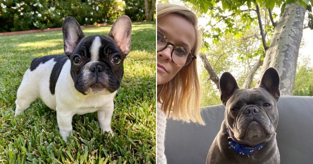 Reese Witherspoon pictured with dog Pepper alongside picture of her puppy Minnie Pearl