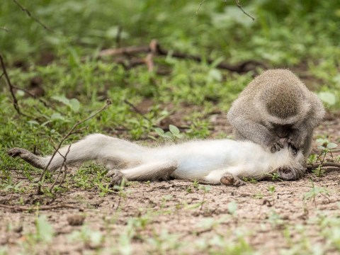 Monkey appears to be giving CPR to stricken friend