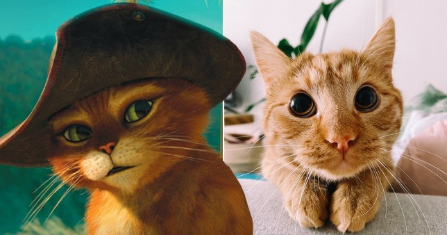 master poe poe, a ginger cat who looks just like Puss In Boots from Shrek