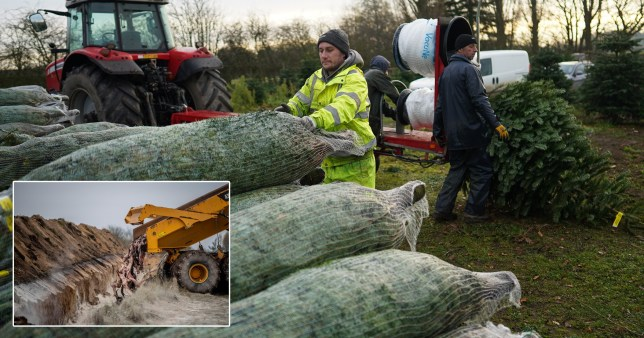 Christmas tree suppliers get ready for the festive season