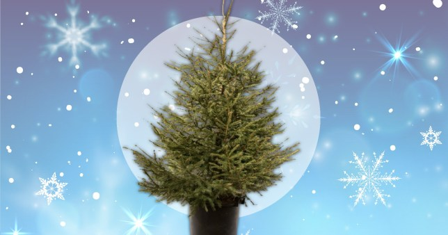How to rent a Christmas tree for a more eco-friendly option   Metro News