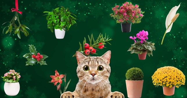 Pet cat with Christmas houseplants known to be toxic