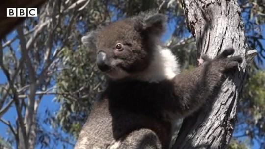 Les koalas australiens retournent dans la nature