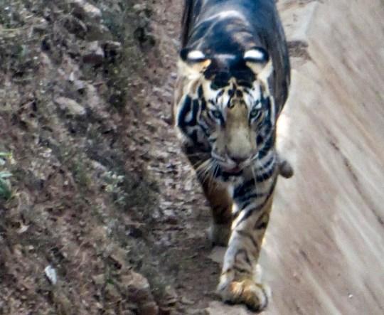 Le photographe amateur Soumen Bajpayee a pris des photos d'un tigre mélanique extrêmement rare chez un tigre dans la réserve de Simlipal et le sanctuaire Nandankanan dans l'est d'Odisha, en Inde.