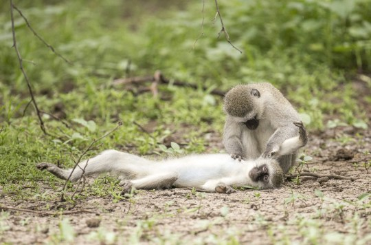 Pictured: All well - the monkey was just being groomed. A monkey appears to give CPR to another member of its troop. The vervet monkey looks like it is giving mouth to mouth resuscitation to the stricken female. However, he is in fact just taking advantage of an opportunity to groom the monkey while she is lying down. Wildlife photographer William Steel took the photographs in the Gaborone Game Reserve in Botswana. SEE OUR COPY FOR DETAILS. Please byline: William Steel/Solent News ?? William Steel/Solent News & Photo Agency UK +44 (0) 2380 458800